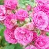 Мускусні троянди