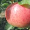 Наливні яблучка