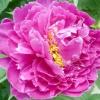 Справжня окраса саду - півонії! розмноження, посадка, догляд