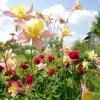 Невибагливий квітник