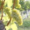 Неукривні сорти винограду: амурські гібриди