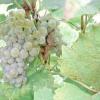 Неукривні сорти винограду: євро-американські гібриди