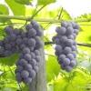 Неукривні сорти винограду: гібриди американського винограду