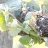 Неукривні сорти винограду
