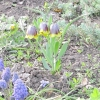 Нову рослину в моєму саду: рябчик михайлівського