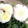 Нові троянди домініка Массада