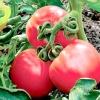 Нові сорти томатів