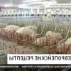 Нові технології вирощування свиней: холодну зміст, двофазна і канадська технологія