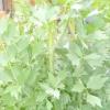 Чи потрібен любисток в городі?