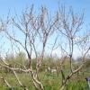 Обрізка персика восени, влітку і навесні