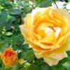 Обрізка троянд