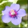 Очний колір польовий, Курослепов польовий (anagallis arvensis l.)