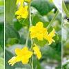 Огірок: вирощуємо в теплиці