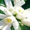 Опис і фото дерева мандарин