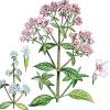 Орегано / origanum vulgare