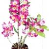 Орхідеї дендробиум