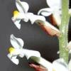 Орхідея лудізія