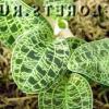 Орхідея макодес