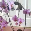 Орхідея не цвіте