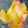 Осіннє цвітіння троянд