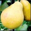 Осінні пізні сорти груш