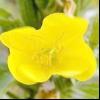 Ослинник дворічний (oenothera biennis l.)