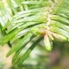 Особливості та цікаві факти про хвойних деревах