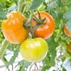 Особливості роботи з насінням томатів