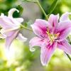 Особливості весняної посадки лілій