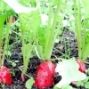 Особливості вирощування редиски та строки посадки