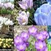 Від золотої до фіолетової - будь забарвлень бувають лілії