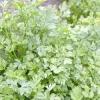 Овоч петрушка: сорту рослини на фото і чим корисна петрушка