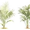 Пальма хамедорея: догляд