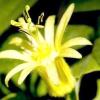 Пасифлора: умови утримання та догляд