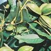 Пекан: фото і вирощування горіха