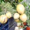 Пепіно / solanum muricatum