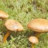 Перцевий гриб