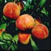 Персик з кісточки в домашніх умовах