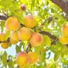 Персик / prunus persica