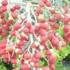 Персикова пальма