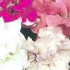 Петунія махрова - всі секрети прекрасної квітки