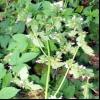 Пікульнік ладанніковий (galeopsis ladanum l.)