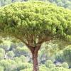 Пінія (pinus pinea)