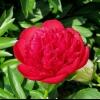 Півонії: діана паркс (diana parks), Клемансо (clemenceau), голден глоу (goldenglow), распберрі санді (raspberry sundae)