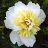Півонії: Хоней голд (honey gold), весняна пісня (vesennyaya pesnya), Херітідж (heritage), Ненсі (nancy)