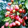 Плодове дерево Корлан