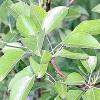 Плодові дерева: груша звичайна