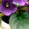 Чому досвідчені квітникарі воліють гнотовий полив фіалок?