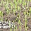 Чому осіння посадка газону краще, і як сіяти газонну траву восени