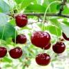 «Подбельський» - сорт вишні